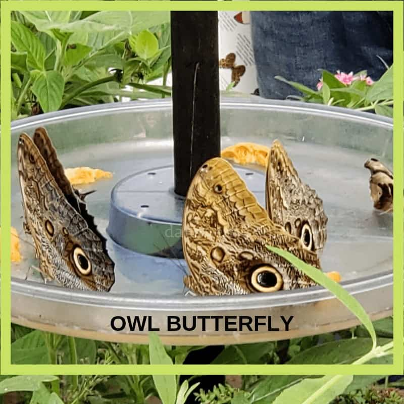 Owl Butterfly up close