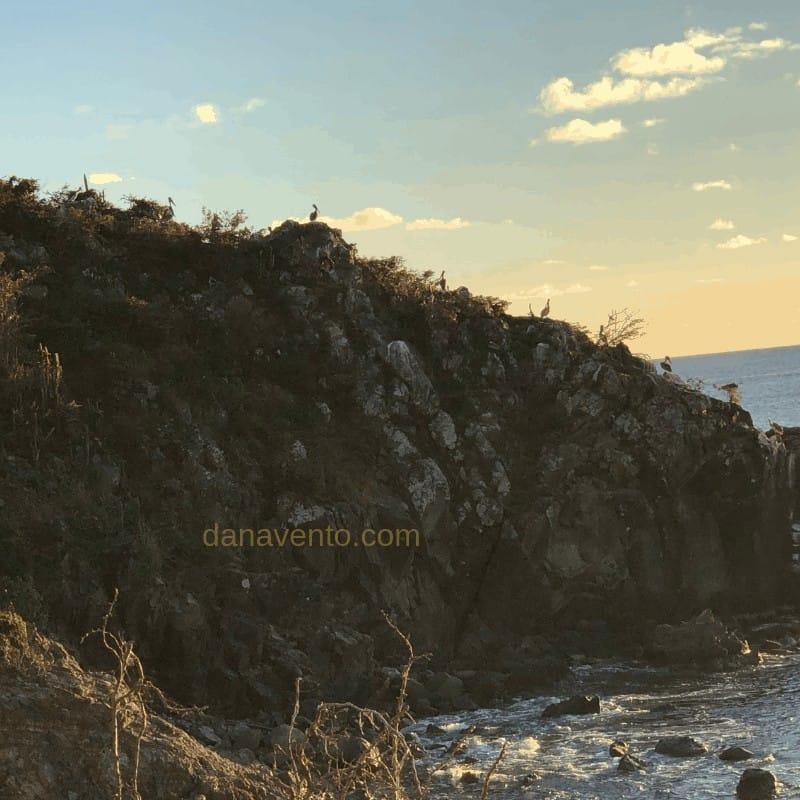 Brown Pelicans the official Bird of St. Maarten