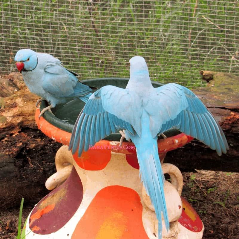 Sint Maarten bird sanctuary Blue birds at the bird bath