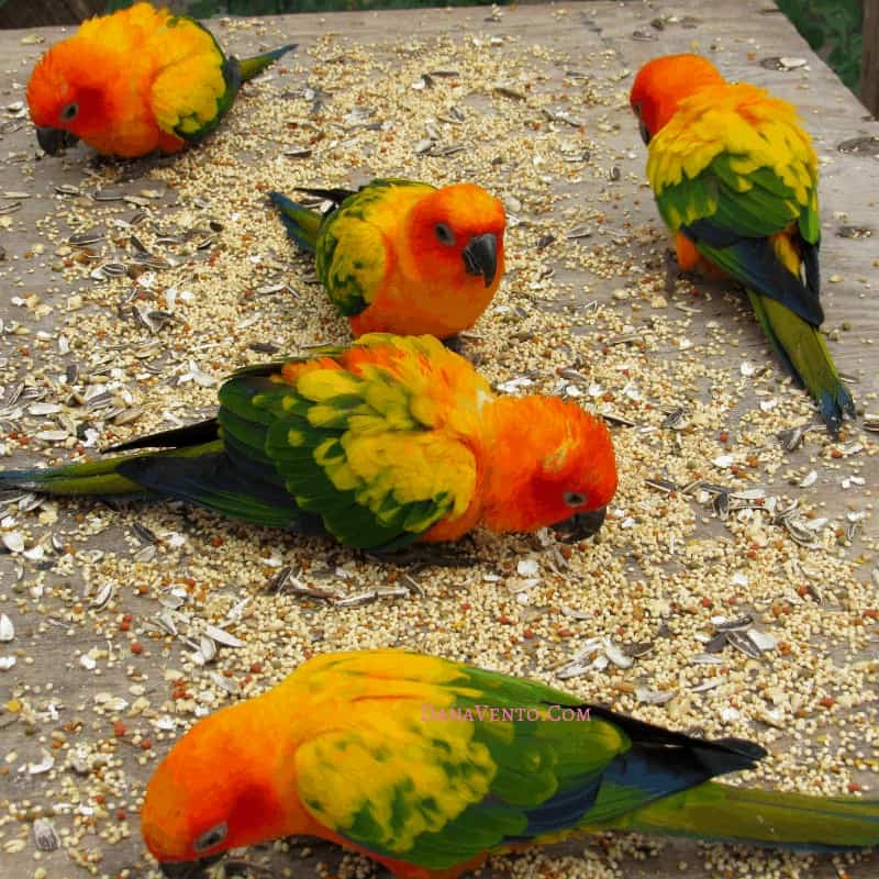 Birds eating at Parrot Ville,so close to use at sanctuary inside the Sint Maarten bird sanctuary.