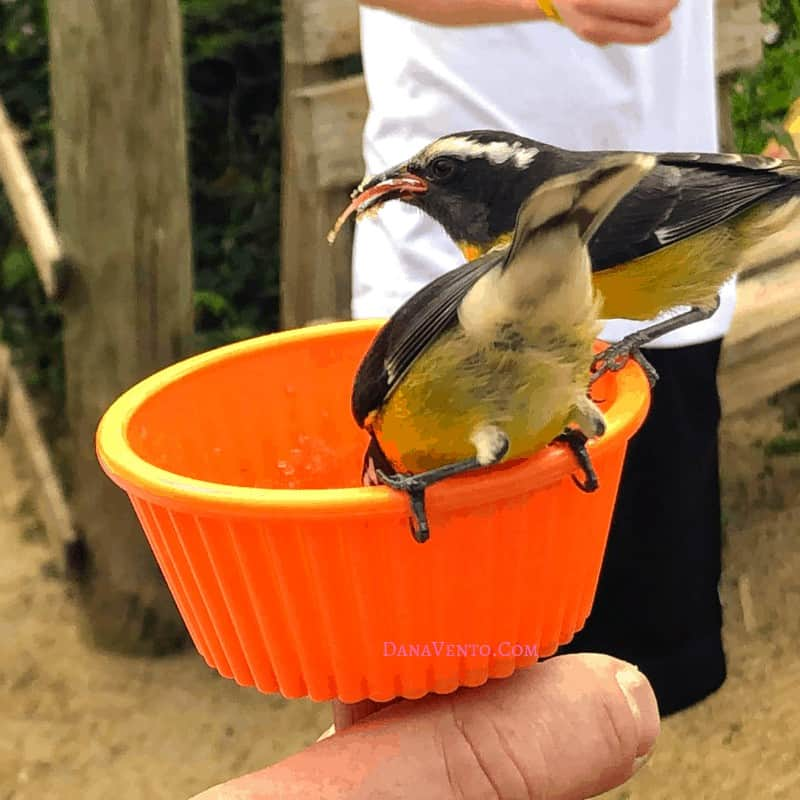 Sint Maarten bird Sanctuary, birds eating out of cup