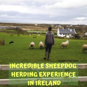 Incredible Sheepdog Herding Experience in Ireland