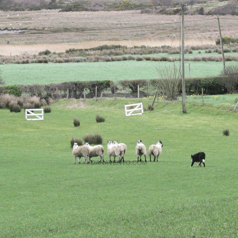 Sheepdog herding in a pasture