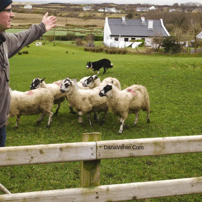Sheepdogs herding experience in Ireland