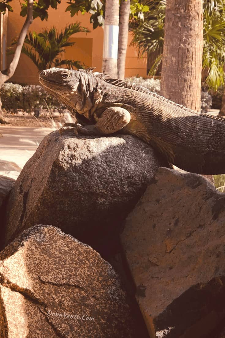 iguanas at Divi Village Resort they are everywhere