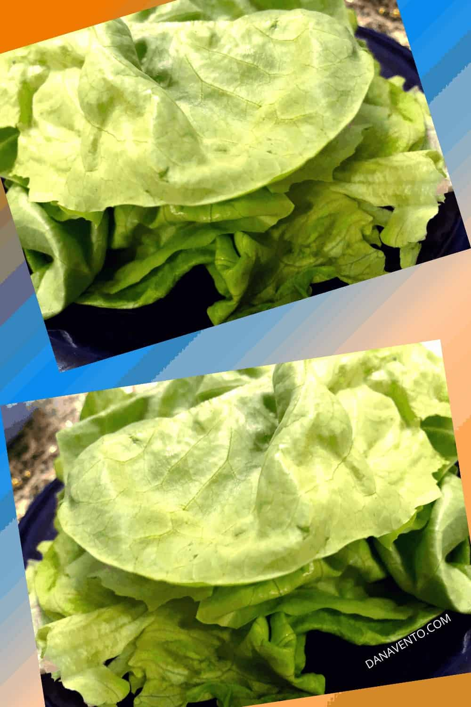 buttercrunch lettuce to wrap salad in