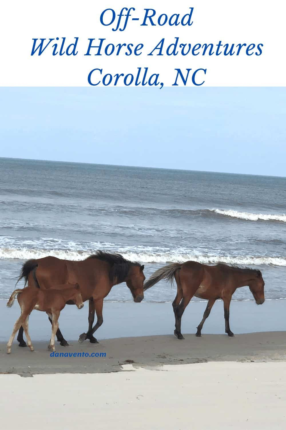 Wild Spanish Colonial Mustangs with Foal on Carova Beach, NC
