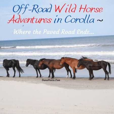 Wild Spanish Mustangs in Group along shoreline in Carova Beach, Outer Banks NC