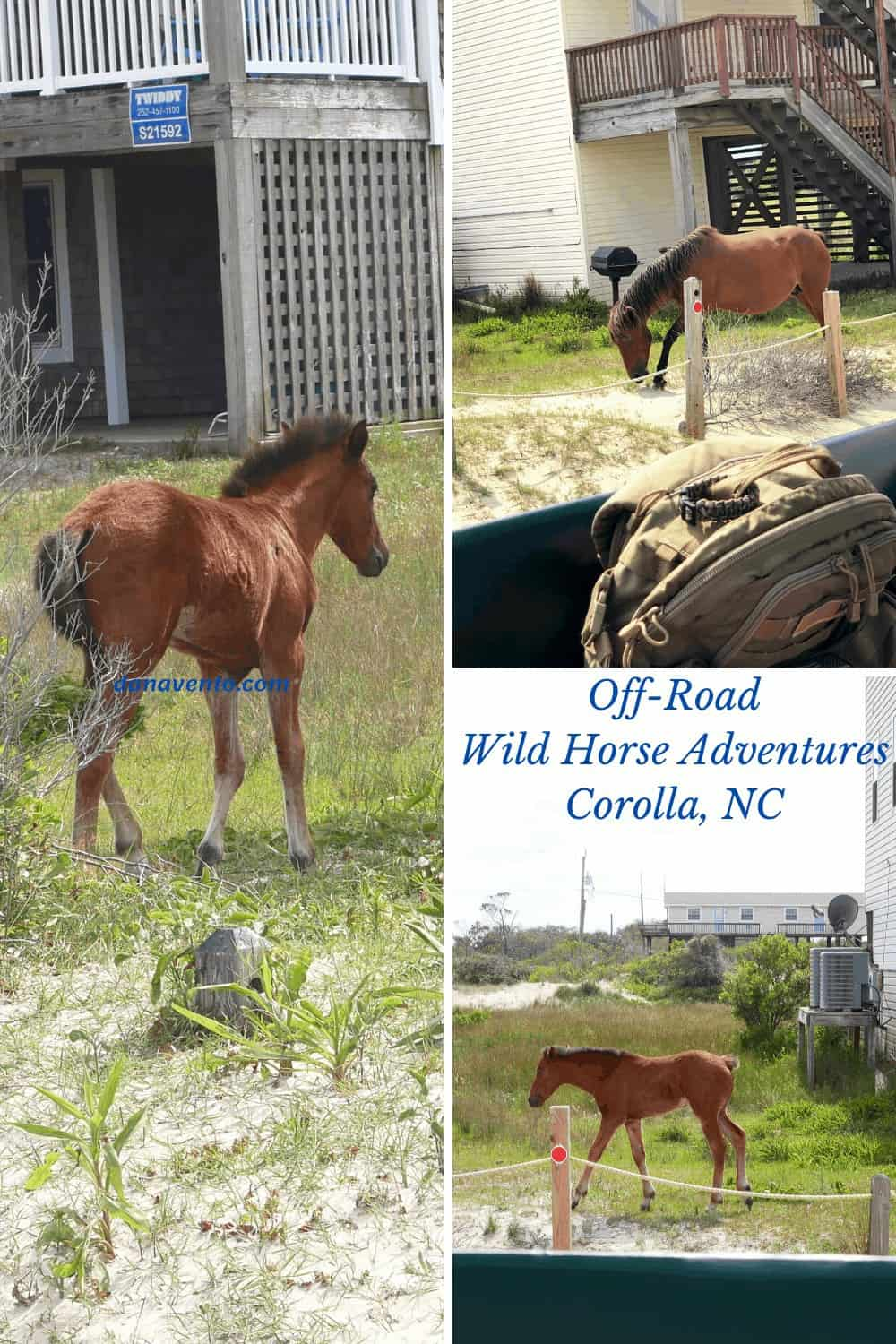 Wild Spanish Colonial Mustangs in a yard off of Carova Beach a 4x4 Community of rentals