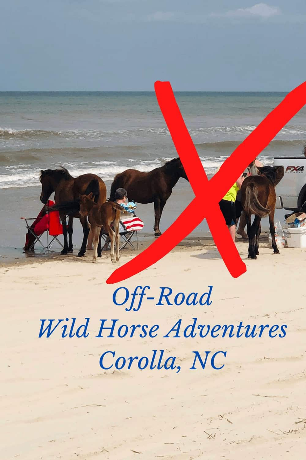 People feeding Wild Horses on Northern Carova beach in North Carolina