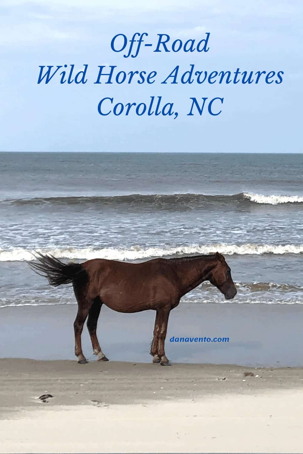 Wild Colonial Mustang by shoreline in Carova Beach, NC