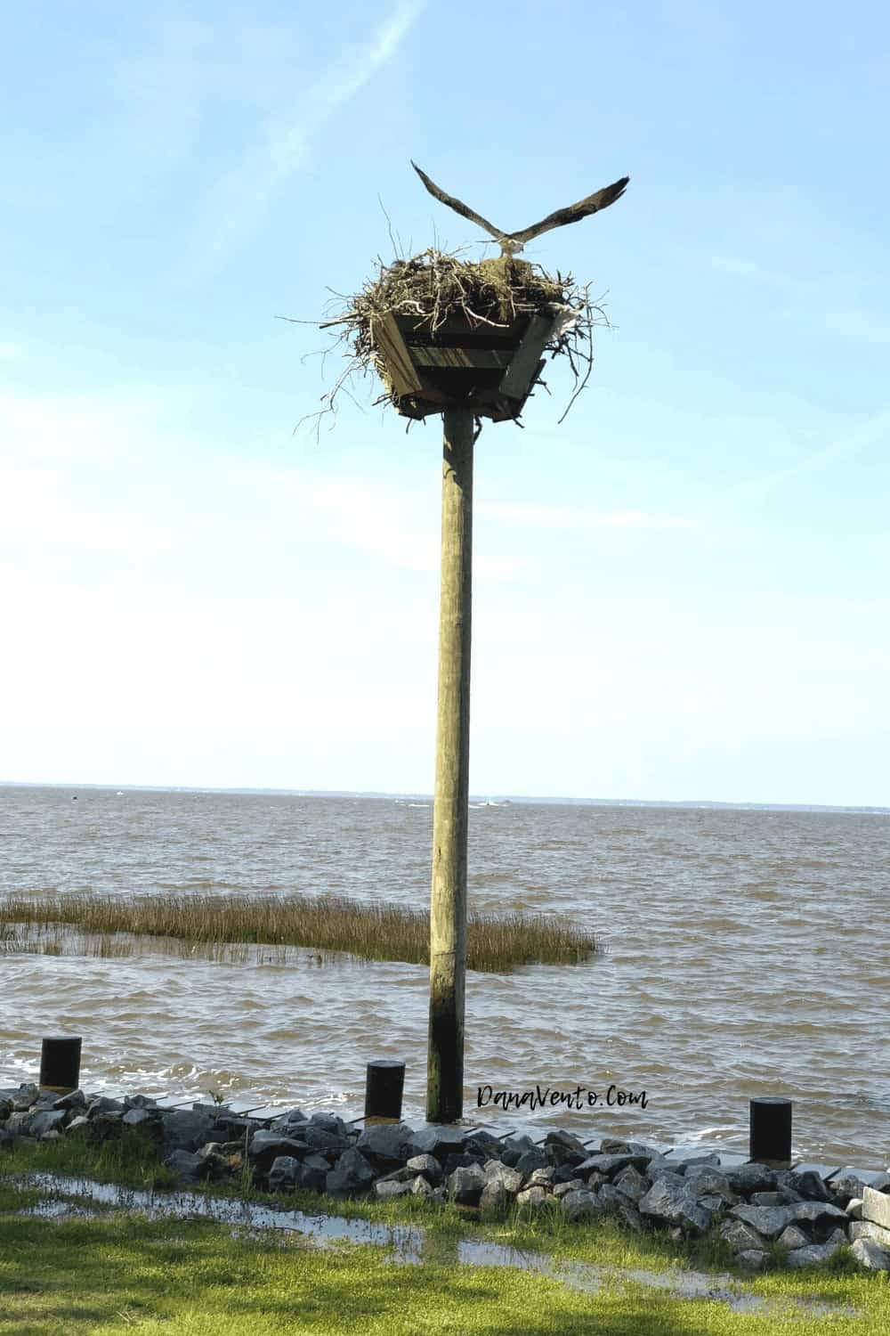 Osprey along Nature Path in Corolla Sound SIde Currituck